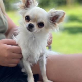 Vuxen Chihuahua Till Salu